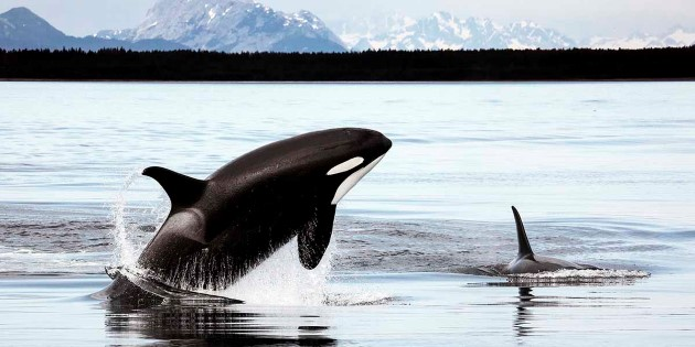 Orcas_in_Alaska©Christopher PMichel-CC BY 2_0_1200x600.jpg