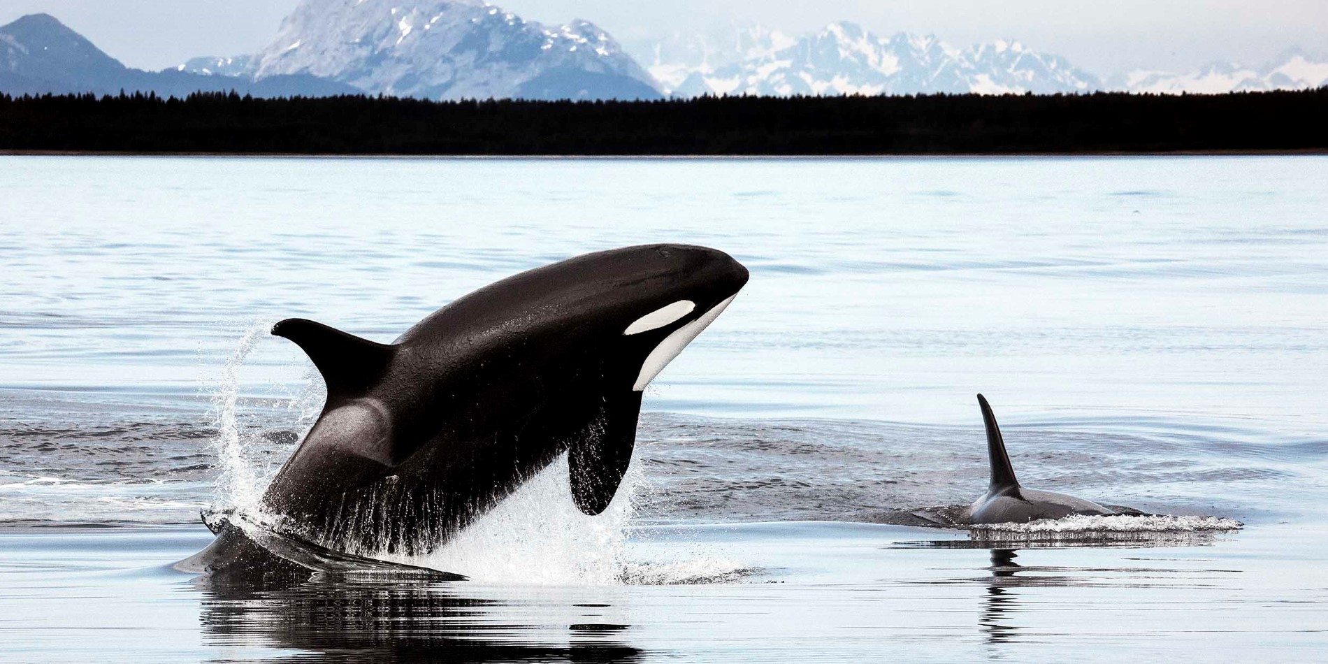 Orcas_in_Alaska©Christopher PMichel-CC BY 2_0_2500x1250.jpg