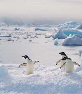A colony of Adelie penguins in Antarctica