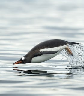 Gentoo penguin on Cuverville Island, Antarctica
